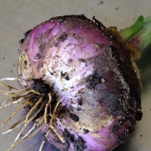 onion root